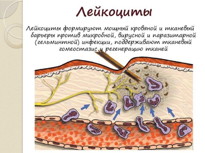 Лейкоциты в мазке перед месячными